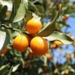 みかんや金柑で温活!ヘスペリジンの冷え対策以外の効果や効果的な食べ方!